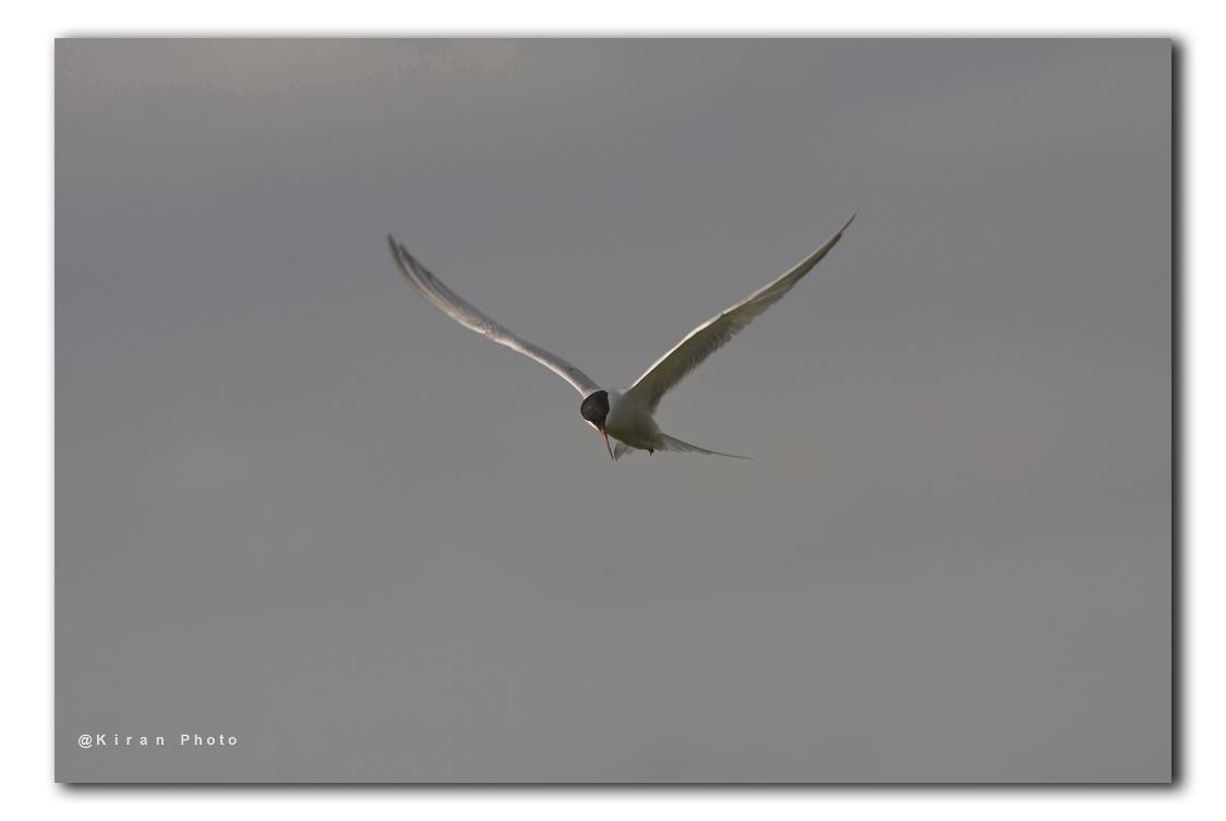 vogels_23dec_visdiefje in lucht IMG_9777