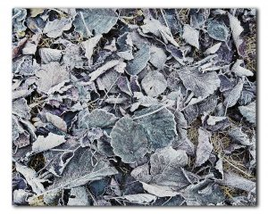 bevroren-bladeren
