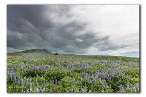 Lupine velden op IJsland