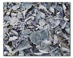 webNP bevroren bladeren IMG 8974