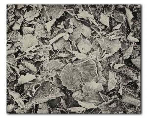 webNP bevroren bladeren IMG 8974 BW